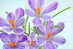 Açafrão violeta - flores frescas da mola o Fotos de Stock