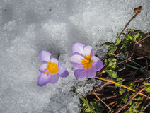 Açafrão violeta fresco na neve que derrete, Grécia Fotos de Stock