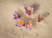 Açafrão violeta fresco na neve que derrete, Grécia Imagens de Stock