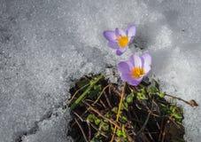 Açafrão violeta fresco na neve que derrete, Grécia Fotografia de Stock