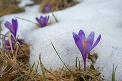 Açafrão violeta na borda da neve Fotos de Stock Royalty Free