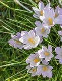 Açafrão violeta na grama verde Imagem de Stock