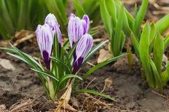 Açafrão violeta no canteiro de flores, fundo macio do foco Imagem de Stock Royalty Free