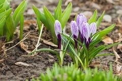 Açafrão violeta no canteiro de flores, fundo macio do foco Fotografia de Stock Royalty Free