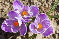 Açafrão violeta que cresce na primavera Imagens de Stock