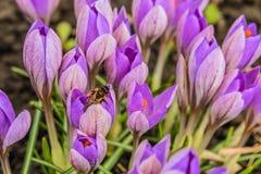 Açafrões adiantados de florescência do roxo da mola Foto de Stock Royalty Free