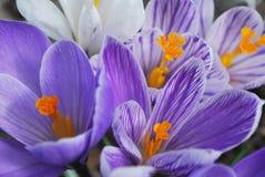 Açafrões adiantados em flores da mola no jardim Fotos de Stock Royalty Free