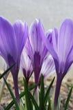 Açafrões adiantados em flores da mola no jardim Foto de Stock