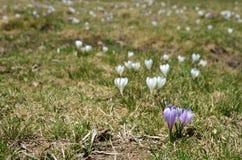 Açafrões alpinos no prado da montanha Foto de Stock