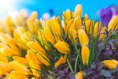 Açafrões amarelos Imagem de Stock