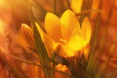 Açafrões amarelos Imagens de Stock