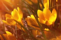 Açafrões amarelos Fotografia de Stock