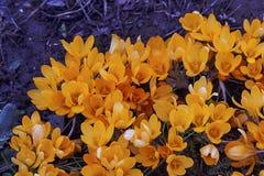 Açafrões amarelos agradáveis da mola Fotos de Stock