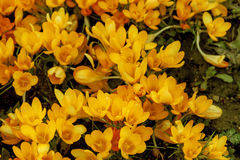 Açafrões amarelos agradáveis frescos da mola Fotografia de Stock