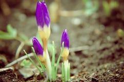 Açafrões amarelos, azuis e roxos que crescem no jardim Fotos de Stock Royalty Free
