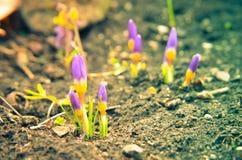 Açafrões amarelos, azuis e roxos que crescem no jardim Fotos de Stock