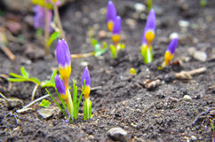 Açafrões amarelos, azuis e roxos que crescem no jardim Imagem de Stock