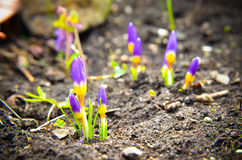 Açafrões amarelos, azuis e roxos que crescem no jardim Fotografia de Stock