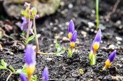 Açafrões amarelos, azuis e roxos que crescem no jardim Imagens de Stock