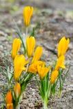 Açafrões amarelos com flores fechados Fotos de Stock Royalty Free