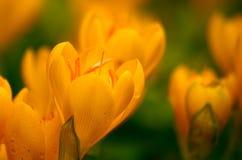 Açafrões amarelos com gotas da chuva. Imagem de Stock