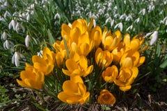 Açafrões amarelos com snowdrops Foto de Stock Royalty Free