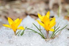 Açafrões amarelos da flor Fotos de Stock