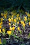 Açafrões amarelos da foto Imagem de Stock Royalty Free