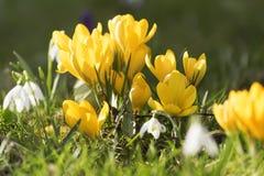 Açafrões amarelos da mola Fotos de Stock