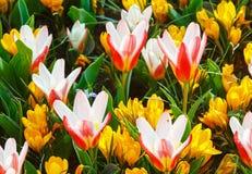 Açafrões amarelos da mola e tulipas branco-vermelhas (macro) Fotografia de Stock