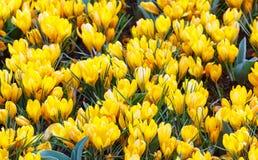 Açafrões amarelos da mola (macro) Foto de Stock Royalty Free