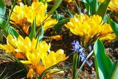 Açafrões amarelos da mola (macro) Imagens de Stock