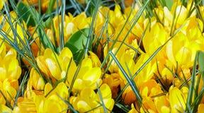 Açafrões amarelos da mola (macro) Fotos de Stock Royalty Free