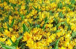 Açafrões amarelos da mola (macro) Imagem de Stock