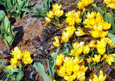 Açafrões amarelos da mola (macro) Fotografia de Stock