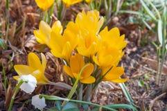 Açafrões amarelos de florescência Imagens de Stock