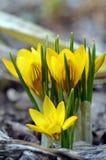 Açafrões amarelos de florescência Fotografia de Stock