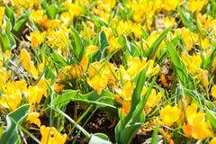 Açafrões amarelos de florescência na mola Fotografia de Stock