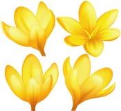 Açafrões amarelos do vetor Fotografia de Stock