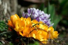Açafrões amarelos e roxos Fotografia de Stock Royalty Free