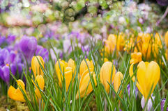 Açafrões amarelos e roxos Foto de Stock Royalty Free