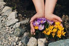 Açafrões amarelos e roxos Foto de Stock
