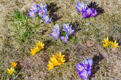 Açafrões amarelos e roxos em um gramado Imagens de Stock Royalty Free