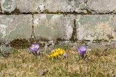 Açafrões amarelos e roxos na grama Imagens de Stock