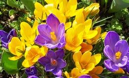 Açafrões amarelos e violetas na mola Foto de Stock