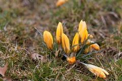 Açafrões amarelos em um prado Fotografia de Stock