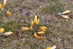 Açafrões amarelos em um prado Fotografia de Stock Royalty Free