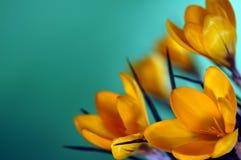 Açafrões amarelos frescos e brilhantes & x28; crocus& x29; no fundo verde no inverno e na mola Fotos de Stock