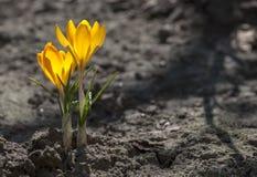 Açafrões amarelos na cama do jardim Imagens de Stock Royalty Free