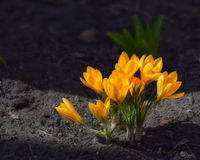 Açafrões amarelos na cama do jardim Foto de Stock